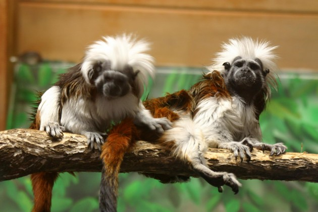 Lake Superior Zoo's Cotton Topped Tamarin