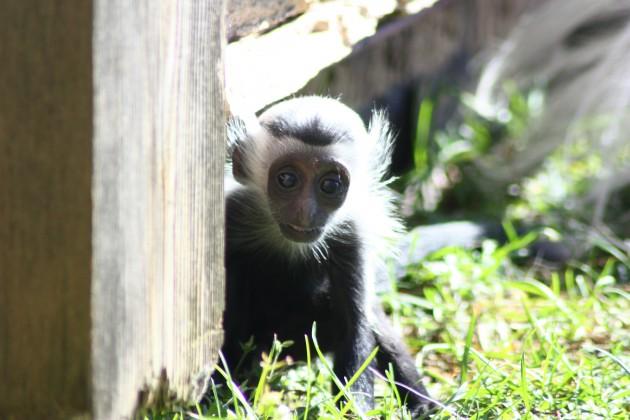 Lake Superior Zoo Colobus Monkey