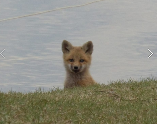 baby fox on the point