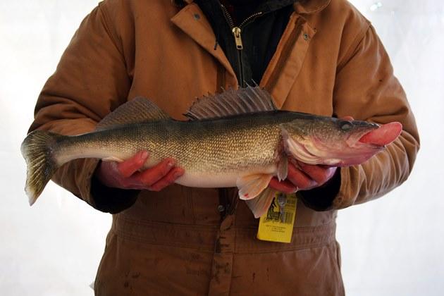 walleye fish