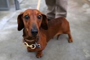 Auckland Council Animal Control Undergo Menacing Dog Project